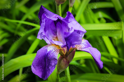 blue iris in the garden