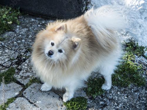 Fotografie, Obraz  perro spitz alemán de forma cenital