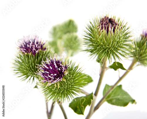 Photographie green burdock isolated on white background