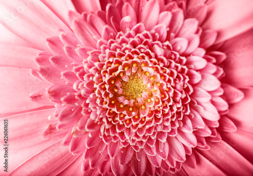 Beautiful pink gerbera flower, closeup