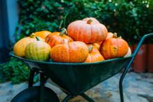 Harvest Of Pumpkins In A Wheelbarrow