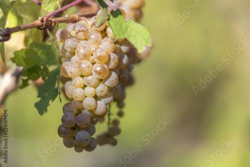 Fotografía  Grappes de raisin