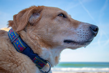 Dog On Beach Wearing Collar