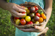 Hands of little girl holding basket of Heirloom tomatoes, close-up