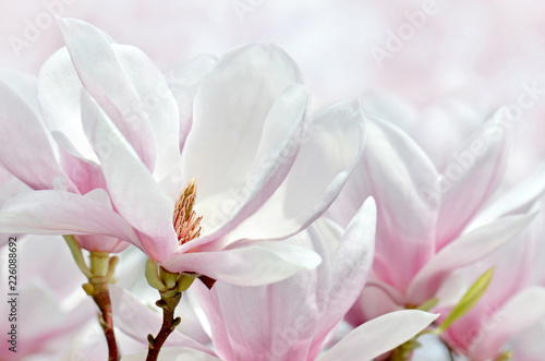 Naklejka premium Makrofag krwawiący z magnolii