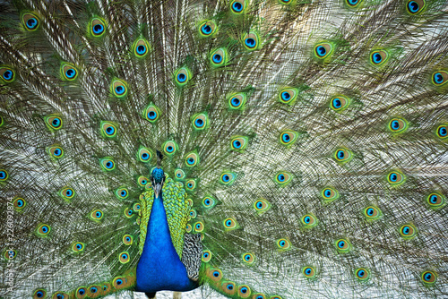 Foto op Aluminium Pauw Beautiful peacock with feathers out