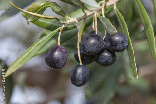 Keuken foto achterwand Olijfboom Olive-tree branch with ripe black olives on the natural blurred background with selective focus, Tuscany, Italy
