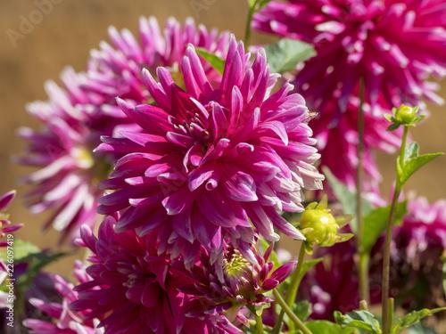Fotobehang Dahlia Dahlia cactus aux fleurs de couleur rose