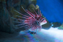 African Lionfish