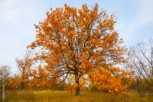 Aluminium Prints Autumn red autumn oak tree in a forest