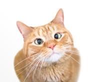 A Cross-eyed Domestic Shorthair Orange Tabby Cat