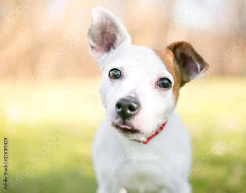 Fotografie, Obraz  A small white and brown Jack Russell Terrier mixed breed dog with one upright ea