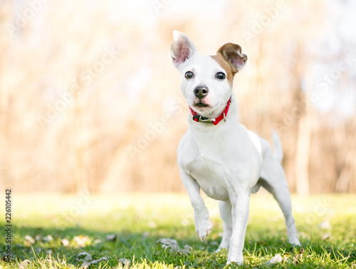 Fotografie, Obraz  A small white and brown Jack Russell Terrier mixed breed dog standing with one p