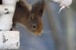 Eichhörnchen schaut neugierig aus Vogelhaus