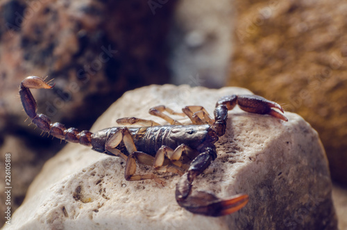 Scorpion sitting on a stone close up