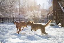 Dogs Running On Snow Covered Field In Yard