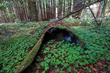 Green Clovers Around Mossy Hol...