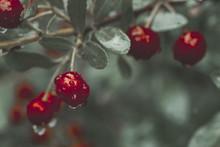 Close-up Of Juicy Wet Cherries...