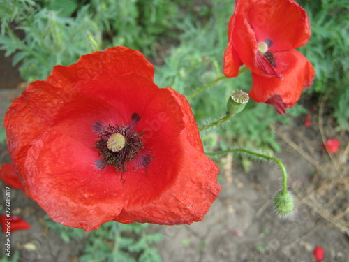 Keuken foto achterwand Poppy red poppy in field