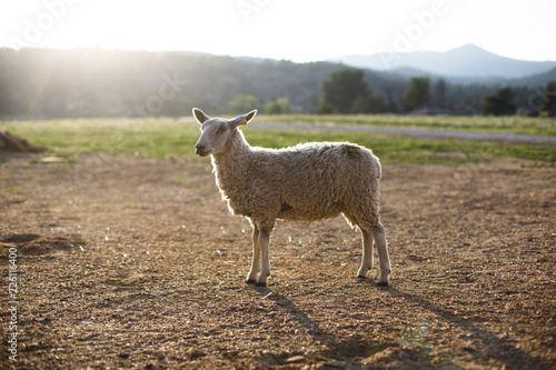 Sheep standing on field against sky during sunny day
