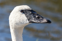 Trumpeter Swan Bird