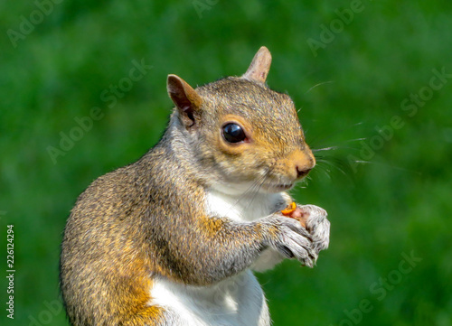Tuinposter Eekhoorn red squirrel eating a nut
