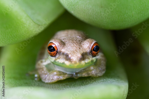 Little tree frog on a succulent leaf