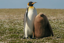 King Penguin Parent And Downy Chick Standing In A Patch Of Feathers From Moulting Birds In The Sub-Antarctic