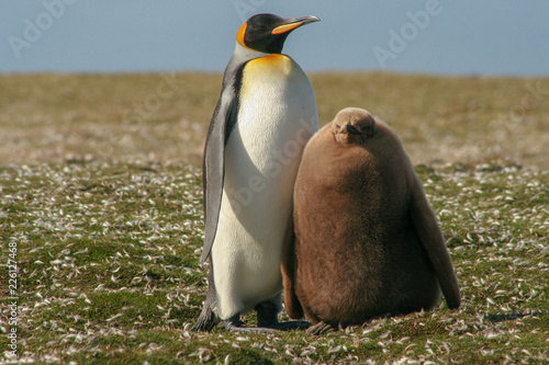 Photo King penguin parent and downy chick standing in a patch of feathers from moultin