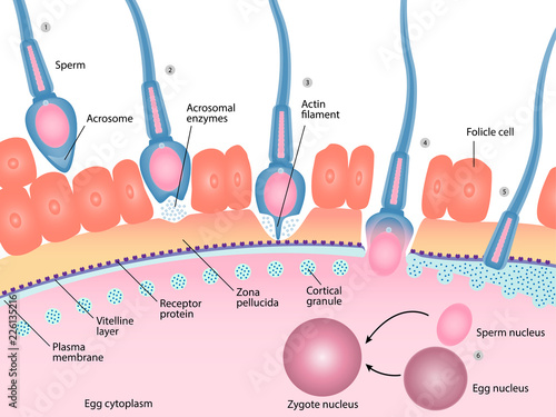 Human Fertilization Process Of Sperm And Egg Cell Diagram
