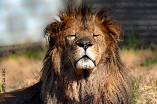 Fototapety, obrazy: Male lion enjoying the morning sun.