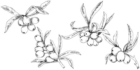 Hippophae roślina wektor ikona na białym tle. Wektor kwiat na tle, tekstury, wzór opakowania, ramki lub granicy.