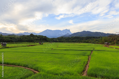 Fotobehang Wit Beautiful Landscape view of young paddy field with Mount Kinabalu , Kota belud Sabah Malaysia. (Image contain soft focus and blur.)