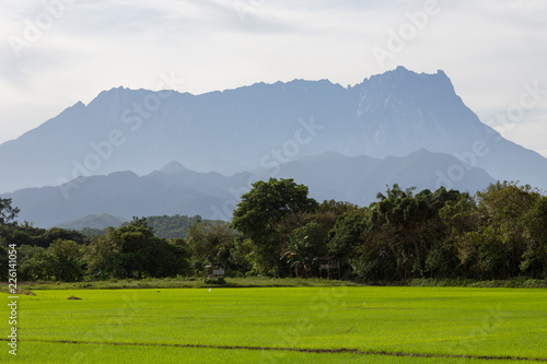 Foto op Aluminium Wit Beautiful Landscape view of young paddy field with Mount Kinabalu , Kota belud Sabah Malaysia. (Image contain soft focus and blur.)