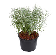 Curry Plant Herb In The Balck Pot Isolated On White Background