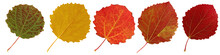 Autumn Aspen Leaves Isolated On White Background.