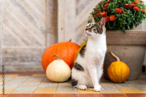 Cat with amputated leg sitting in front of front door decorated with pumpkins Canvas Print