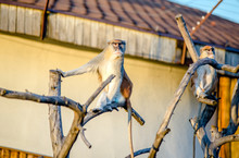 Patas Monkey Sitting In A Tree