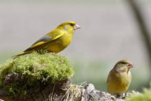 Zwei Grünfinken Auf Einem Baumstamm Mit Moos