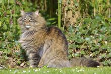 Angora Cat (Felis Catus) Sitting On Grass Among Ivy