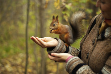 Red Squirrel In Autumn Park Ea...