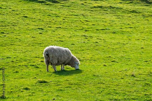 Fotobehang Schapen A sheep grazing on the green farm. Fresh sunny with a warm light day.