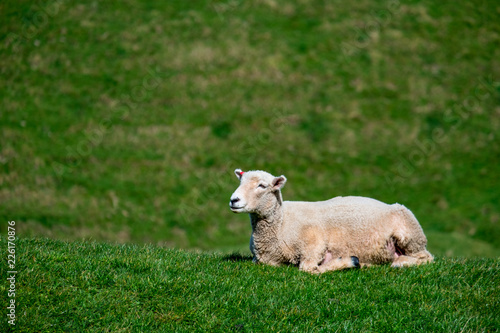 A sheep grazing on the green farm. Fresh sunny with a warm light day.