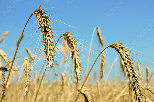 Photo Ears of wheat