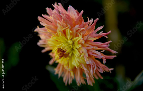 amazing dahlia in the garden, close up