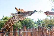 Feeding Giraffe In A Zoo