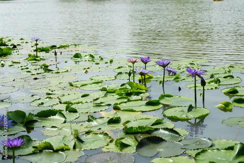 Deurstickers Waterlelies Purple and Pink lotus flower in nature it is beautiful.