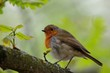 Close up of a European robin (Erithacus rubecula) perching on a branch