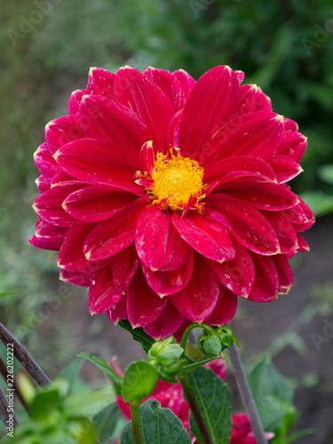 In de dag Dahlia bright red flower Dahlia on green blurred background