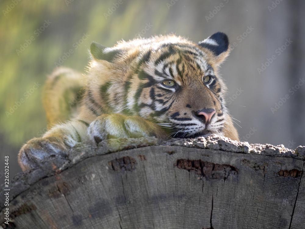 Resting jung Sumatran Tiger, Panthera tigris sumatrae